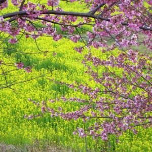 昨日の東大山町の河津桜