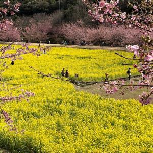昨日の東大山の河津桜♪