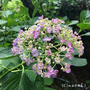 季 ~紫陽花を観に~