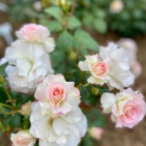 バラの甘い香