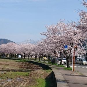 桜 満開(*´∀`)♪
