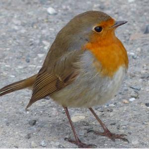 大好きなイギリスのロビン!でも東京にも、自然の鳥たちはこんなに・・・