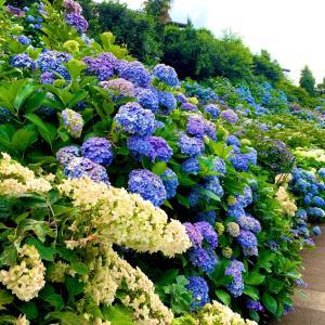 紫陽花がいっぱい