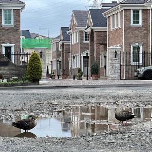 我が家の前にmr.&mrs.Duckが