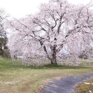 栃木市 金崎の桜を愛でる