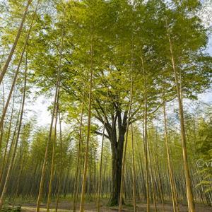 若竹の杜 若山農場 ~竹秋の竹林~