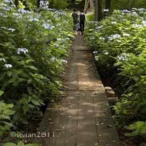 上三川 磯川緑地公園 ~隠れた紫陽花の名所~