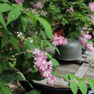マギシェンの花は・・・