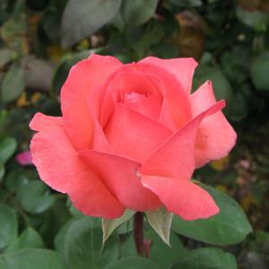 開花の待たれる秋バラ 81 「京成バラ園」(大輪バラ)h
