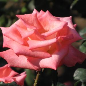 開花の待たれる秋バラ 85 「神代植物公園」a