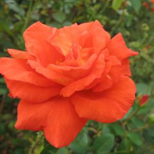 開花の待たれる秋バラ 88 「京成バラ園」(大輪バラ)q