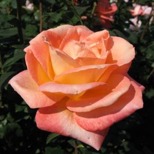 開花の待たれる秋バラ 89 「神代植物公園」c
