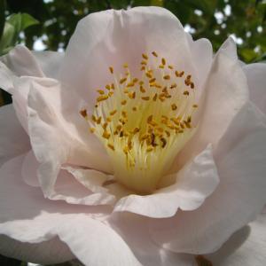 庭の椿 (13) 巨大輪花「イースターモーン」