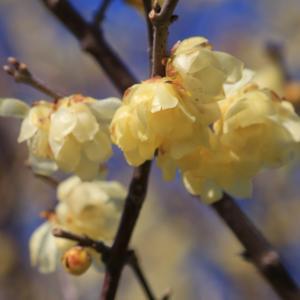 「立春」を彩るロウバイ