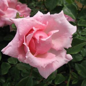 春のバラ園、今年は中止 ( 神代植物公園 21 )