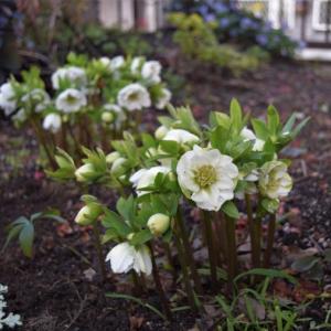 クリスマスローズが咲き始めた2月の庭