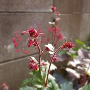 今日もスマホで庭の花
