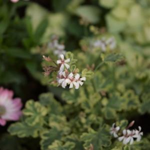 また庭の花