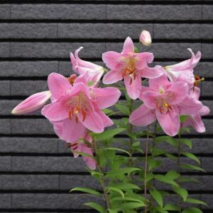 八重咲きのピンクの百合