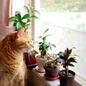 西向き窓の観葉植物と猫