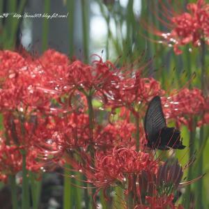 花とクロアゲハ