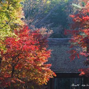 茅葺屋根を彩る紅葉