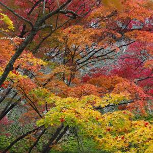色とりどりの紅葉 常寂光寺