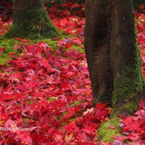 雨上がりの散り落ち葉 永観堂