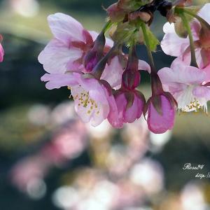 愛らしい河津桜