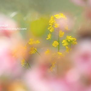 ふわり菜の花