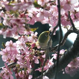 桜花と初めてのメジロ