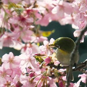桜花と初めてのメジロⅡ