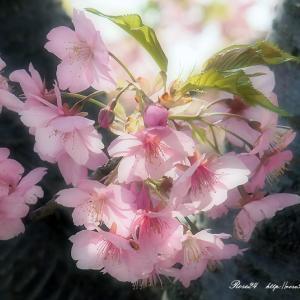 華やか 胴吹き桜
