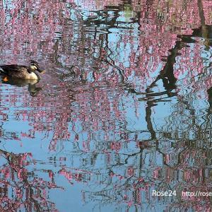 花揺らぐ水面