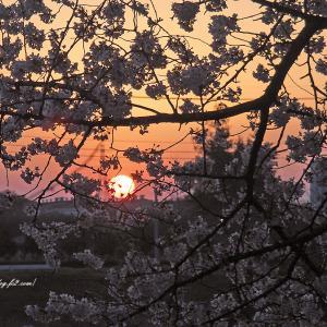 朝日に染まる桜と空と