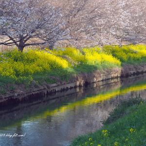 桜と菜の花咲く川辺