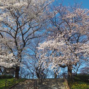 青空に映える桜並木