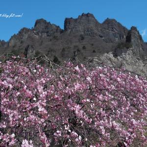 桃色のしだれ桜と妙義山