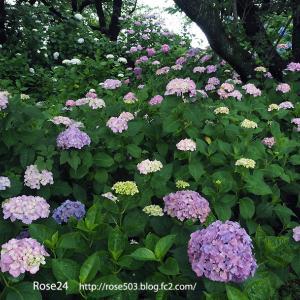紫陽花の小径