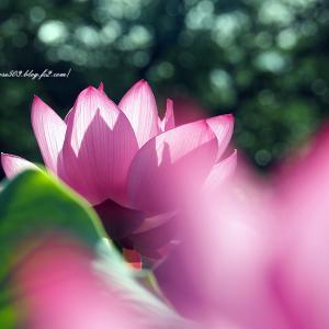 日に透ける花びら