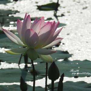 煌めく水面で咲く
