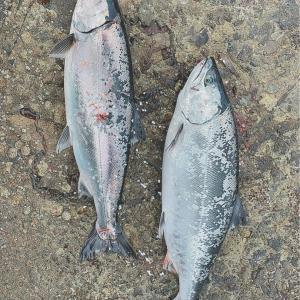ここ最近の釣果と転落事故とライジャケの必要性