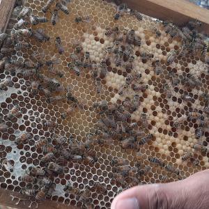 武漢肺炎のため養蜂業者は経営危機に