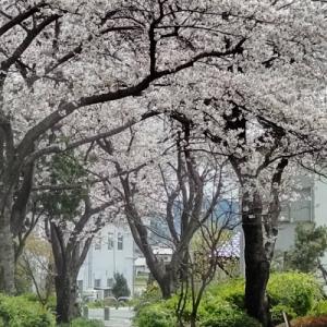 お散歩道の桜