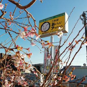 季節外れの桜を見る(かい)?アッハッハの桜