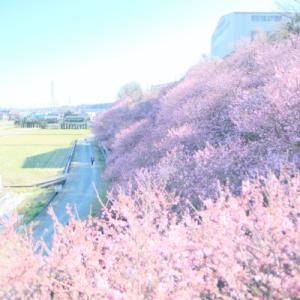 春めき桜@一の堰ハラネ