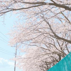 グランドの桜@2020