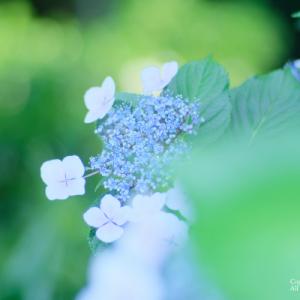 紫陽花とか
