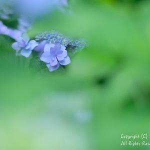 slow photoな紫陽花