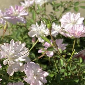 小さなお花のフリフリが可愛いです~
